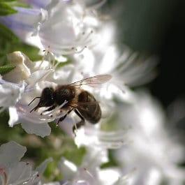 Gloria Ayala Barrera, abeille en libation à Agaete, Blume und Biene im Norden Gran Canaria, lovely bee on a white flower in the Canaries