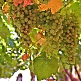 Guillem Ferran, vigne au nord-ouest de Grande Canarie, Rebstock im Tal von Agaete, grapevine in the Canaries
