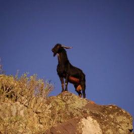 Un bouc de Grande Canarie, par Yeray, Geißbock in Agaete, lonely goat in Gran Canaria