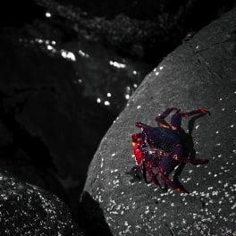 Cangrejo rojo de Adrián, red crab in Agaete, rote Krabe auf den Kanaren, crabe rouge des îles Canaries
