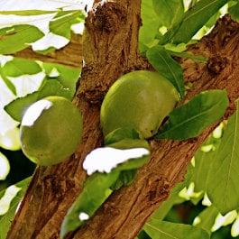 Rafael Hilario Quevedo Guillén, Crescentia cujete in El Huerto de las Flores of Agaete, Gran Canaria, árbol de la tutuma en las islas Canarias, http://www.agaete.es/