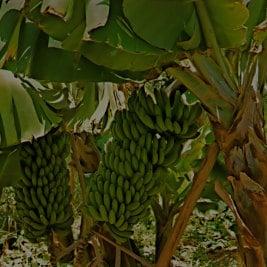 Sebastien, bananière à la Vallée d'Agaete, Bananenstaude in Agaete, banana plant in Gran Canaria