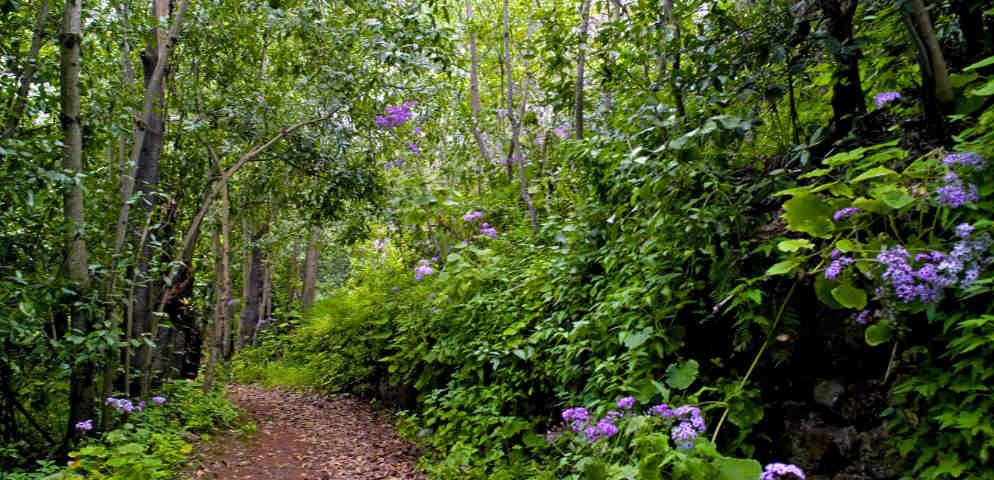 Laurisylve de Moya, végétation typique des Canaries, laurel forest in Gran Canaria, Lorbeerwald im Norden von Gran Canaria