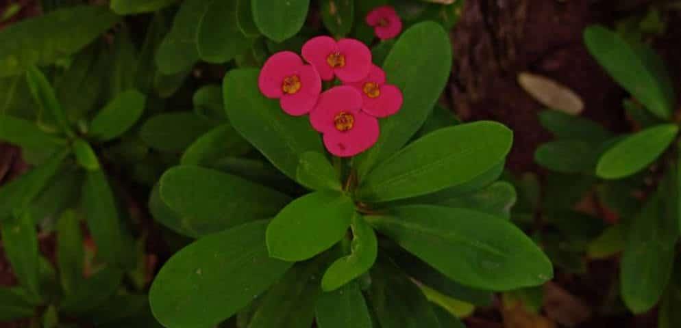 Petites fleurs rouges à El Huerto de las flores, Agaete, schöne kleine Blumen, red small flowers, flores en el Huerto de las flores de Agaete, http://www.agaete.es/