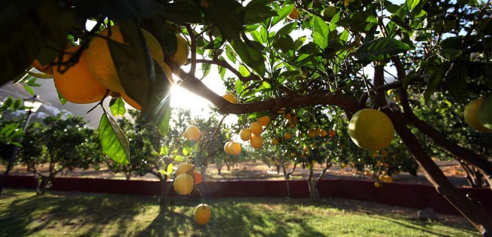 Orangier de la Vallée d'Agaete, orange tree in the Agaete Valley, Orangenbaum in Agaete, Gran Canaria, naranjo de las islas canarias